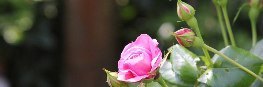 "Johann Philipp Bronner-Rose im PZN-Blumenladen ""Thea"""