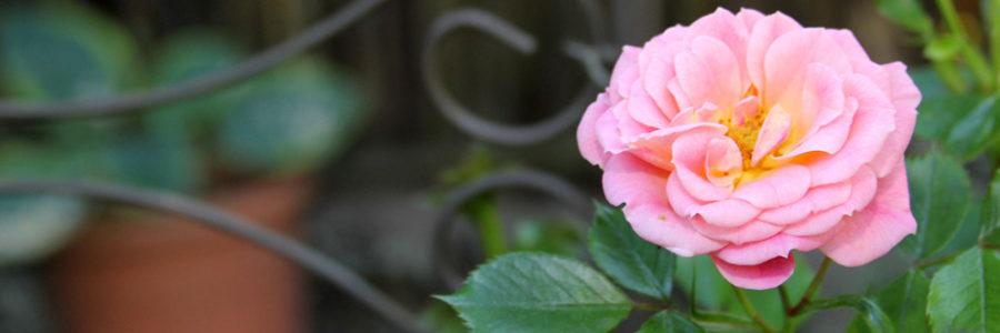 3. Wieslocher Rosenfrühstück